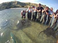 Optional excursion in Gisborne - Stingrays and reef ecology tour